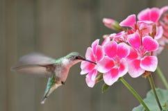 Ruby-throated Hummingbird and Flower. Ruby-throated hummingbird, Archilochus colubris, feeding on a geranium flower Royalty Free Stock Photography