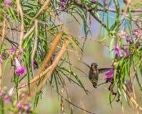 Ruby-Throated Hummingbird, Fluttering Wings in Arizona Desert stock photography