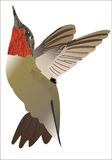 The Ruby-throated Hummingbird. Flying stock illustration