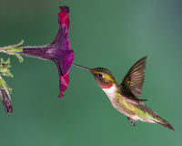 Ruby-throated Hummingbird. A ruby-throated hummingbird flying into a petunia flower Royalty Free Stock Photo