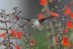 Ruby-throated Hummingbird Flying in the Tight Spaces of the Garden. Ruby-throated Hummingbird, Archilocus colubris, feeding in the red Sage, Salvia coccinea. He stock photography