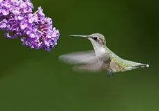 Ruby-throated Hummingbird Stock Photos