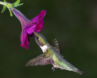 Ruby-throated Hummingbird. A ruby-throated hummingbird gathering nectar from a flower Royalty Free Stock Images