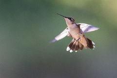 Ruby Throated Hummingbird Royalty Free Stock Photos