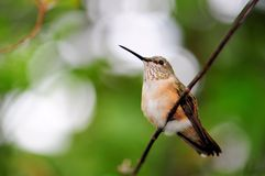 Ruby-throated hummingbird (horizontal) Royalty Free Stock Images