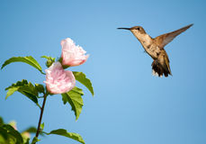 Ruby-throated Hummingbird hovering Royalty Free Stock Photos