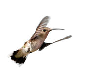 Ruby-throated Hummingbird hovering Stock Photo