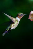 Ruby-throated Hummingbird. A Ruby-throated Hummingbird hovering at a flower Royalty Free Stock Images