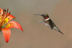 Ruby-throated Hummingbird Hovering Next to a Wood Lily Stock Image
