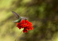 Ruby Throated Hummingbird hovering by Red Zinnia. Side view of Ruby Throated Humminbird hovering over red zinnia Stock Image