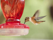 Ruby Throated Hummingbird Royalty Free Stock Photography