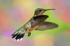 Free Ruby-throated Hummingbird In Flight Royalty Free Stock Images - 19921019