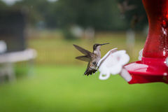 Ruby Throated Hummingbird Landing Lizenzfreies Stockfoto