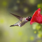 Ruby Throated Hummingbird male eating from feeder Stock Photo