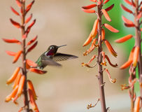 Ruby Throated Hummingbird. A male Ruby Throated Hummingbird feeds in the early morning Stock Photo