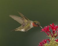 Hummingbird Hovering on a red flower royalty free stock photos