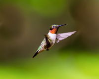 Ruby Throated Hummingbird male. Royalty Free Stock Images