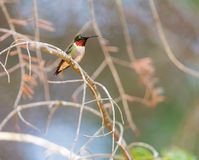 Ruby Throated Hummingbird male. Stock Photo