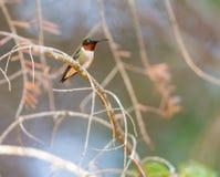 Ruby Throated Hummingbird man Arkivfoto