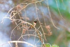 Ruby Throated Hummingbird man Arkivfoton