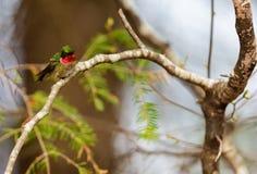 Ruby Throated Hummingbird man Arkivbilder
