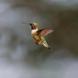 Ruby Throated Hummingbird man Arkivbild