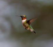 Ruby Throated Hummingbird man Royaltyfria Foton