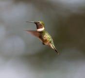 Ruby Throated Hummingbird man Fotografering för Bildbyråer
