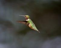 Ruby Throated Hummingbird man Royaltyfri Foto