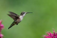 Ruby-throated hummingbird med purpura blommor Arkivfoto