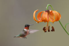 Ruby-throated Hummingbird and Michigan Lily - Ontario, Canada Stock Photography