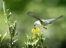 Ruby Throated Hummingbird och nattljus Royaltyfria Bilder