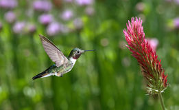 Ruby-throated Hummingbird over green background Stock Images