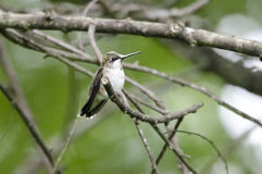 Ruby-throated Hummingbird on perch Stock Images