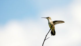 Ruby throated hummingbird perched. Stock Photo