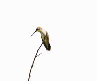 Ruby throated hummingbird perched. Royalty Free Stock Image