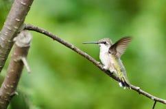Ruby-Throated Hummingbird Perched i en Tree Royaltyfri Foto