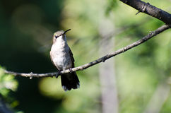 Ruby Throated Hummingbird Perched in a Tree Stock Photo