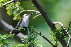 Ruby-Throated Hummingbird Perched in a Tree Stock Images