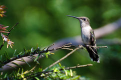 Ruby Throated Hummingbird Perched in a Tree Royalty Free Stock Images