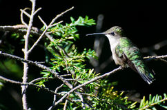 Ruby-Throated Hummingbird Perched in a Tree Royalty Free Stock Photo