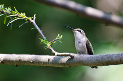 Ruby-Throated Hummingbird Perched in a Tree Royalty Free Stock Photography