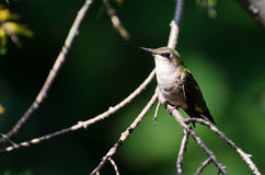 Ruby Throated Hummingbird Perched in a Tree Royalty Free Stock Photo