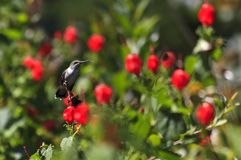 Ruby Throated Hummingbird Perched. In Turk`s Cap plant royalty free stock photos