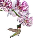Ruby-throated Hummingbird At Phalaenopsis Orchids Stock Image