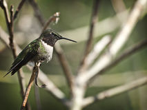 Ruby-throated hummingbird Royalty Free Stock Photo