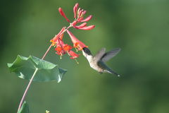 Ruby throated Hummingbird in Quebec, North America. Ruby throated Hummingbird in Quebec, Canada, North America royalty free stock images