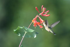 Ruby throated Hummingbird in Quebec, North America. Ruby throated Hummingbird in Quebec, Canada, North America stock photography