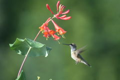 Ruby throated Hummingbird in Quebec, North America. Ruby throated Hummingbird in Quebec, Canada, North America stock photos