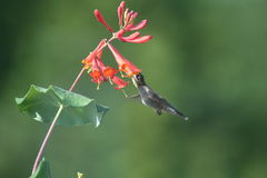 Ruby throated Hummingbird in Quebec, North America. Ruby throated Hummingbird in Quebec, Canada, North America royalty free stock photography
